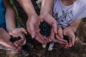Fresh catch of wild blueberries. Photo: Michael Hammel